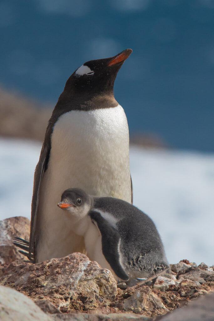 Tim Melling - Baby Gentoo Penguin - Mark Avery